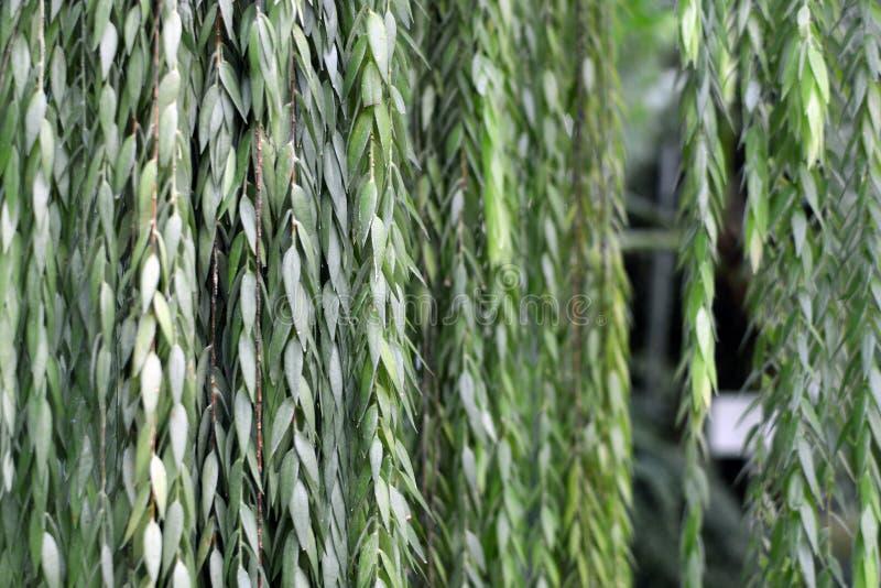 Ceratostema Rauhii Luteyn krzaka rośliny wiszący tło obrazy stock