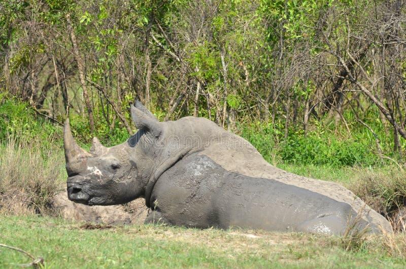 ceratotherium nosorożec simum biel zdjęcie stock