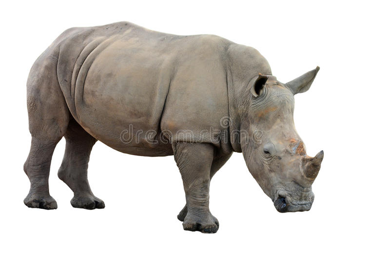 Ceratotherium simum. White Rhinoceros or Square-lipped rhinoceros - Ceratotherium simum on a white background royalty free stock images