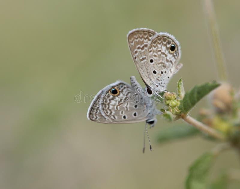 Ceraunus Blauwe vlinders in Georgië royalty-vrije stock afbeelding