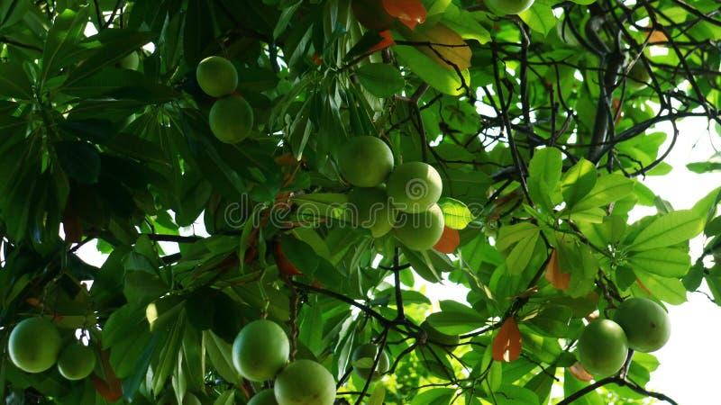 Bintaro Fruit. Cerbera manghas or bintaro fruit on tree at Monas Park, Jakarta, Indonesia royalty free stock image
