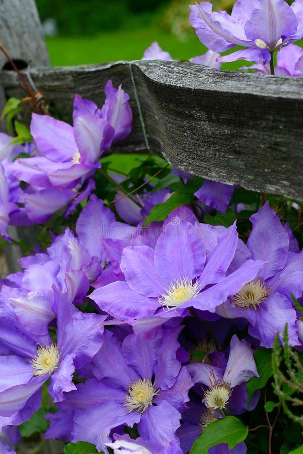 Cerca com flores roxas imagens de stock