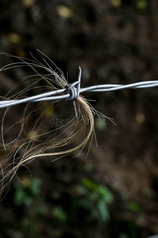 Cerca de alambre de Barb con el pelo del ganado de Hereford foto de archivo libre de regalías