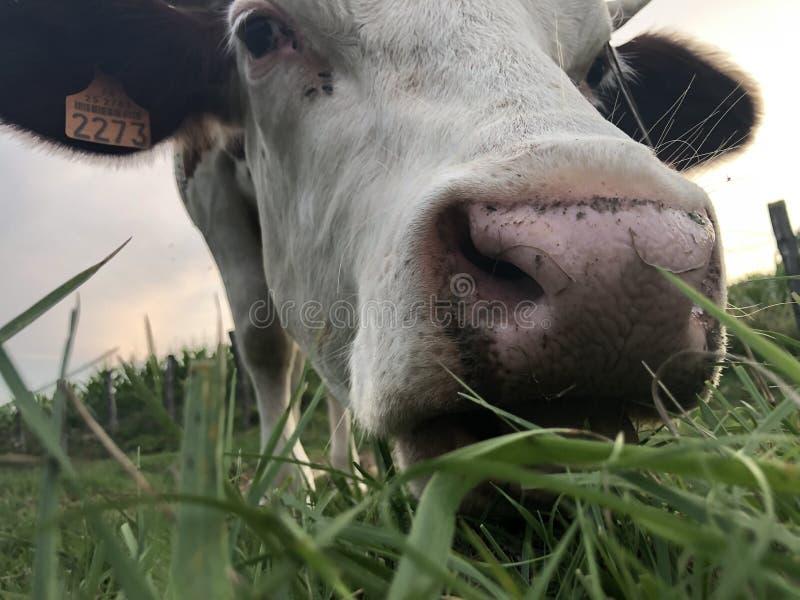 Cerca de, la vaca Montbeliarde imagen de archivo