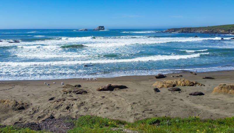 Cerca de las focas elefantes en la playa imágenes de archivo libres de regalías