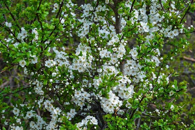 Cerca de las sorprendentes flores blancas con cielo azul en primavera foto de archivo libre de regalías