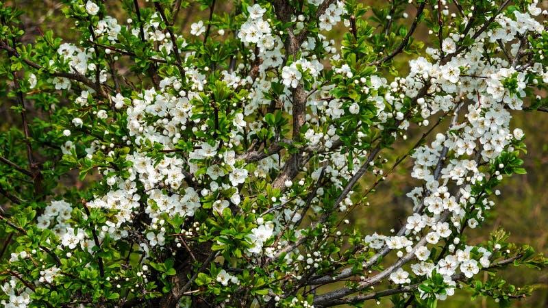 Cerca de las sorprendentes flores blancas con cielo azul en primavera fotos de archivo