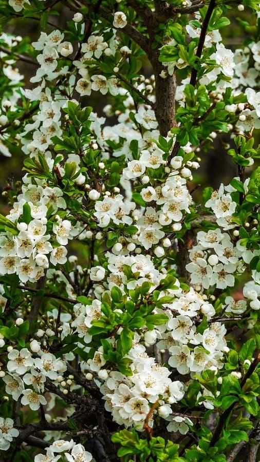 Cerca de las sorprendentes flores blancas con cielo azul en primavera fotos de archivo libres de regalías