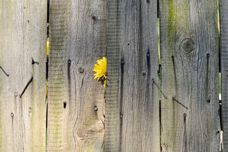 Cerca de madera vieja con la cerca de madera del flowerold amarillo con amarillo imagenes de archivo