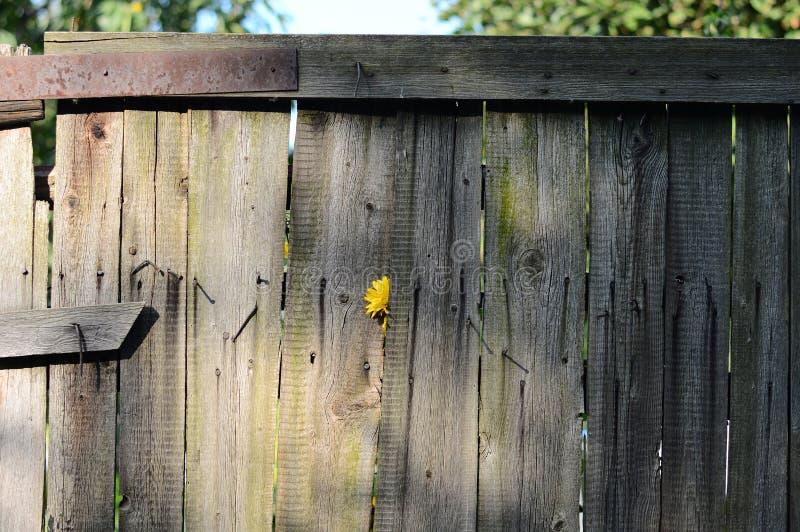 Cerca de madera vieja con la cerca de madera del flowerold amarillo con amarillo fotos de archivo