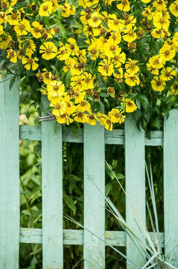 Cerca de piquete e flores amarelas fotos de stock