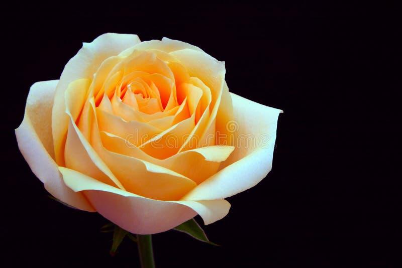 Cerca de una hermosa rosa de melocotón suave y brillante imagenes de archivo
