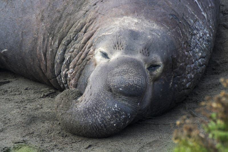 Cerca del Sello de Elefante Masculino con Proboscito en la Playa imagen de archivo