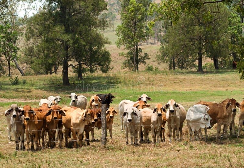 A cerca do arame farpado contem o rebanho de vaca do brahman foto de stock