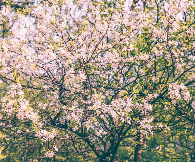 Cerca encima de imagen del rosa de Sakura o de la flor de cerezo imagen de archivo libre de regalías
