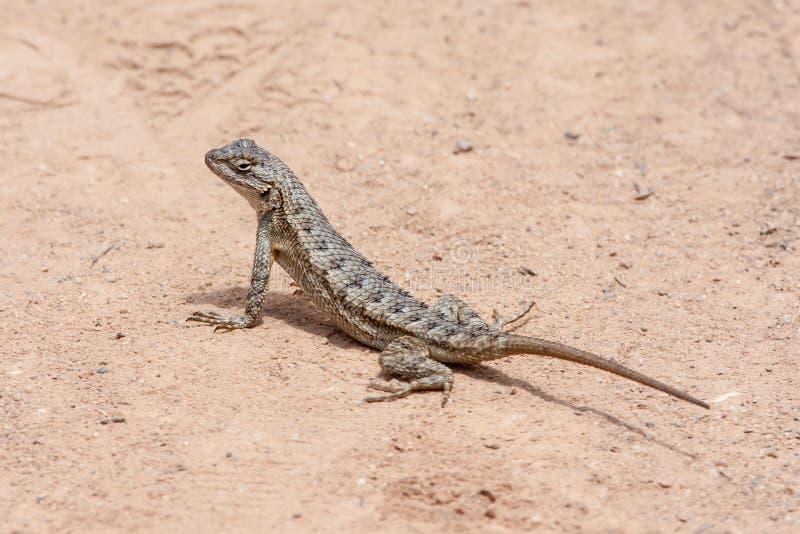 Cerca occidental Lizard en el parque del desierto de la costa de Laguna, Laguna Beach, California foto de archivo libre de regalías