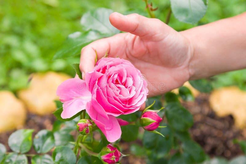Cerca para arriba de la mano de la mujer que sostiene una flor color de rosa rosada en jardín del verano fotografía de archivo libre de regalías