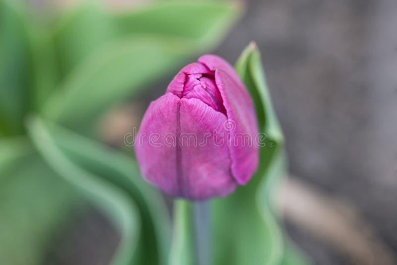 Cerca - para arriba de un brote cerrado del tulipán púrpura-púrpura imágenes de archivo libres de regalías