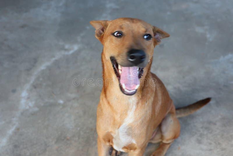 Cerca para arriba, perro que se sienta, sonriendo, dientes hermosos, felices fotografía de archivo