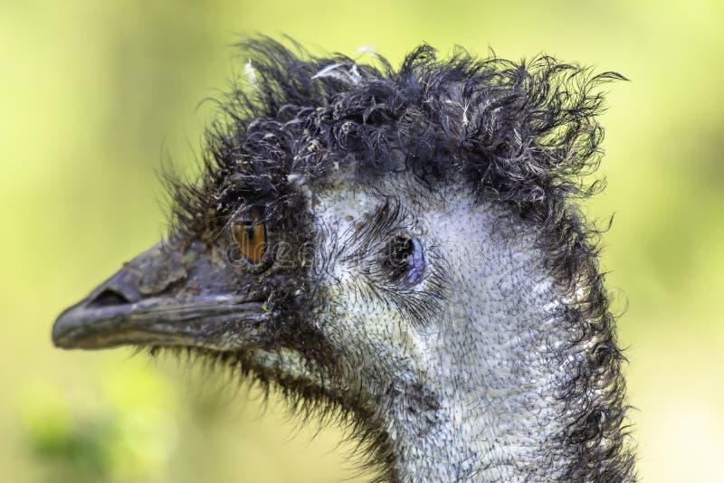 Cerca para arriba, retrato del perfil de la avestruz del emú que parece derecho fotos de archivo