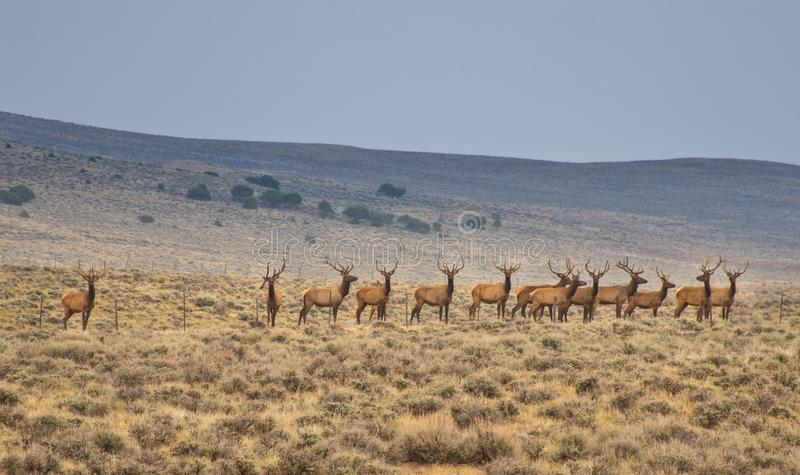 Cerca que hace una pausa In Northwest Colorado de los alces de Bull fotografía de archivo libre de regalías
