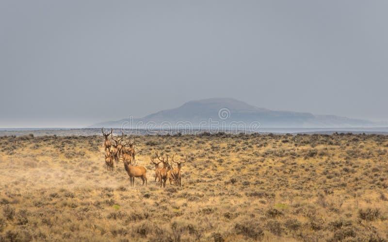 Cerca que hace una pausa In Northwest Colorado de los alces de Bull fotografía de archivo