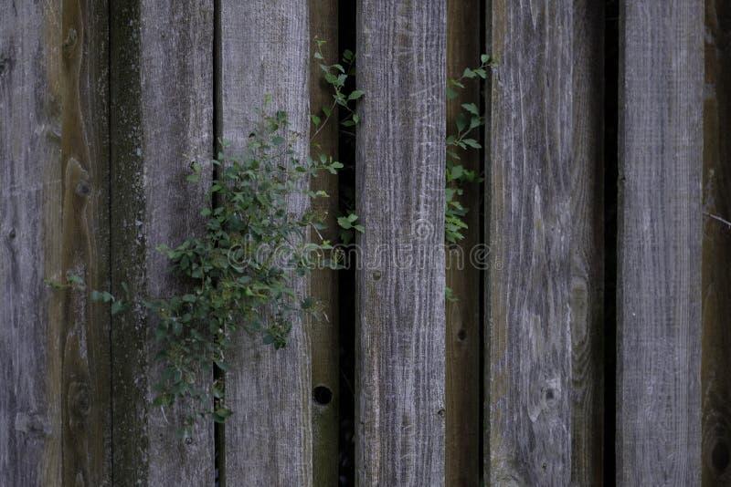 Cerca resistida vieja de madera de pino nudoso con follaje fotos de archivo libres de regalías