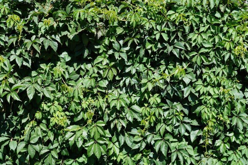 Download Cerca verde imagen de archivo. Imagen de planta, fondo - 42441103