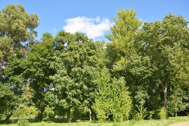 Cerca verde da parede das árvores grandes contra ventos mais fortes, tempestades, furacões foto de stock