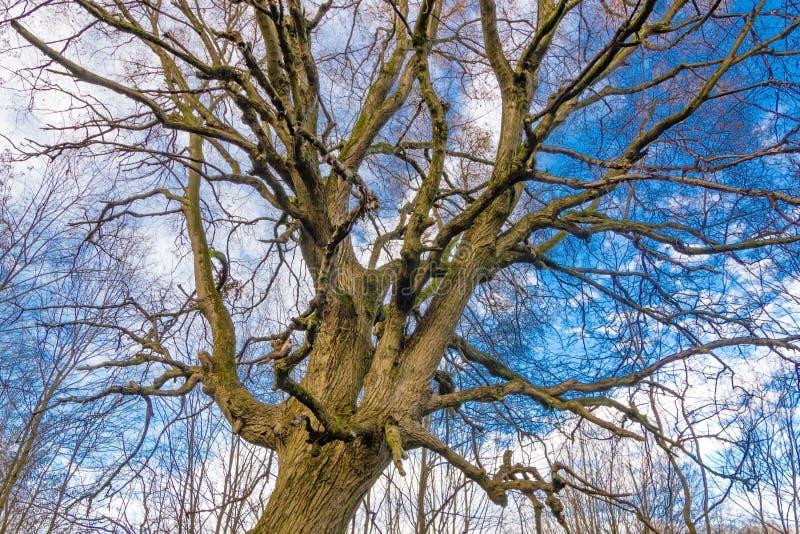 Cercando con le siluette sfrondate degli alberi sopra il cielo di inverno con le nuvole, sfondo naturale immagini stock