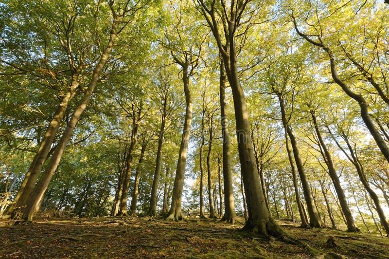 Cercando i grandi alberi di faggio sharpenhoe Inghilterra Europa di prospettiva fotografia stock