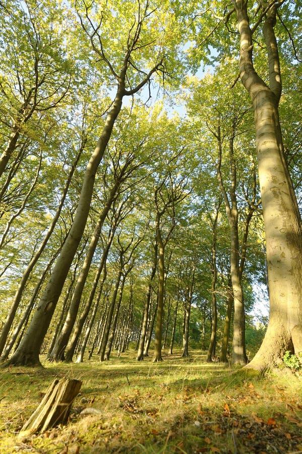 Cercando i grandi alberi di faggio sharpenhoe Inghilterra Europa di prospettiva immagini stock