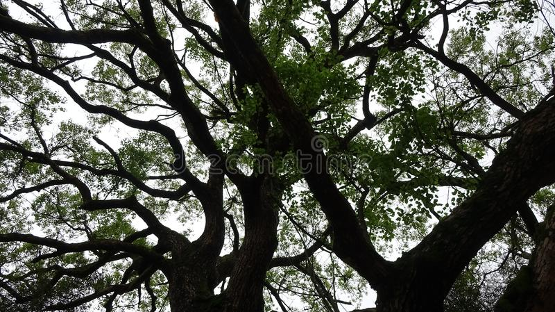 Cercando l'albero torreggiante fotografia stock