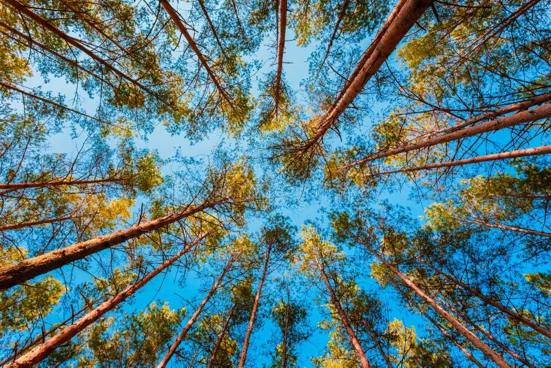 Cercando nel pino Forest Tree To Canopy di primavera fotografia stock libera da diritti