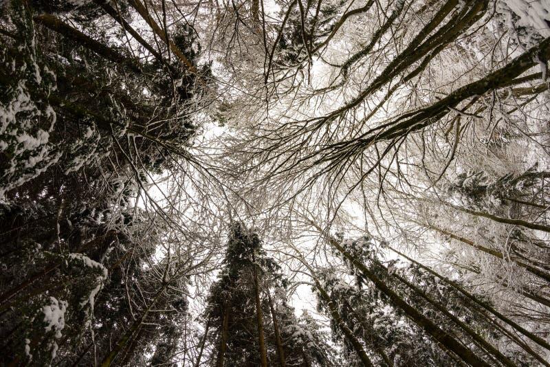 Cercando nella foresta nevosa fotografia stock
