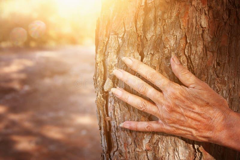 cercano para arriba de hembra mayor entregue el árbol en el bosque en la luz de la puesta del sol imagenes de archivo