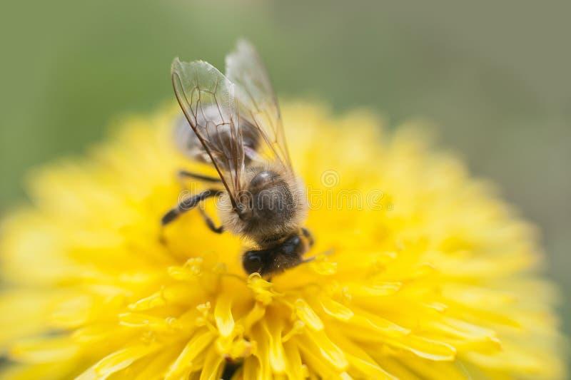 cercano para arriba de la abeja que recoge la miel en un diente de león amarillo de la flor contra fondo verde defocused suave foto de archivo