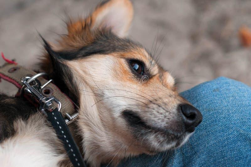 cercano para arriba de perro lindo marrón en las rodillas del hombre que miran en distancia fotografía de archivo libre de regalías