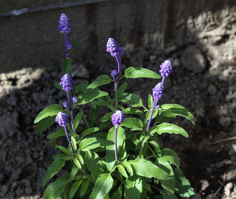 Cercano para arriba del sabio o del sabio harinoso (farinacea del mealycup de Salvia fotografía de archivo libre de regalías