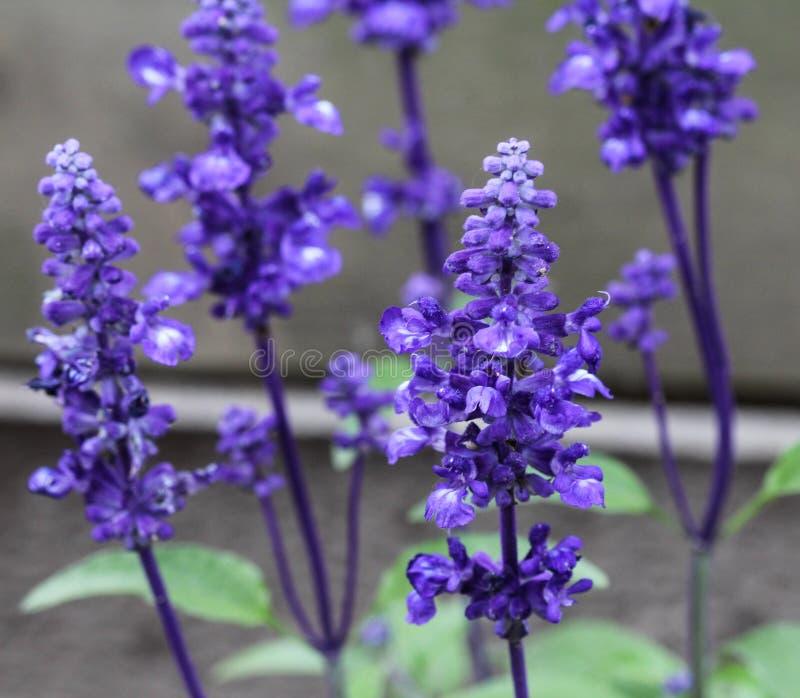 Cercano para arriba del sabio o del sabio harinoso (farinacea del mealycup de Salvia fotos de archivo libres de regalías