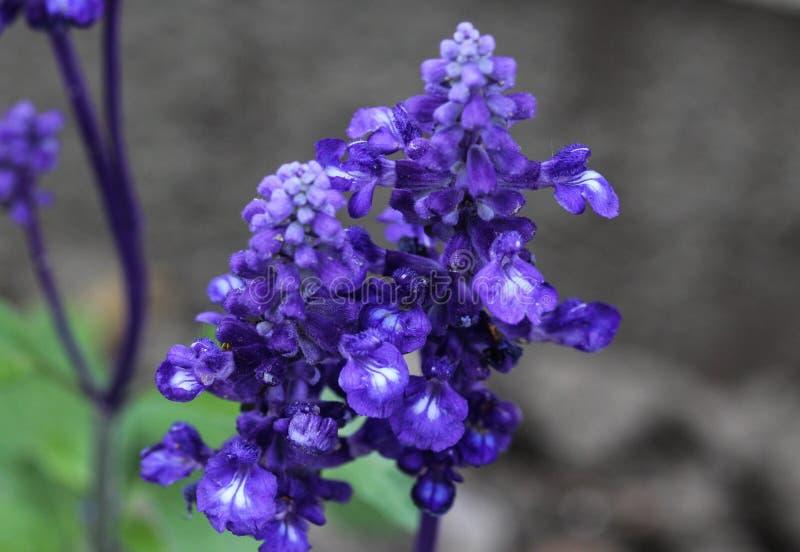 Cercano para arriba del sabio o del sabio harinoso (farinacea del mealycup de Salvia fotos de archivo