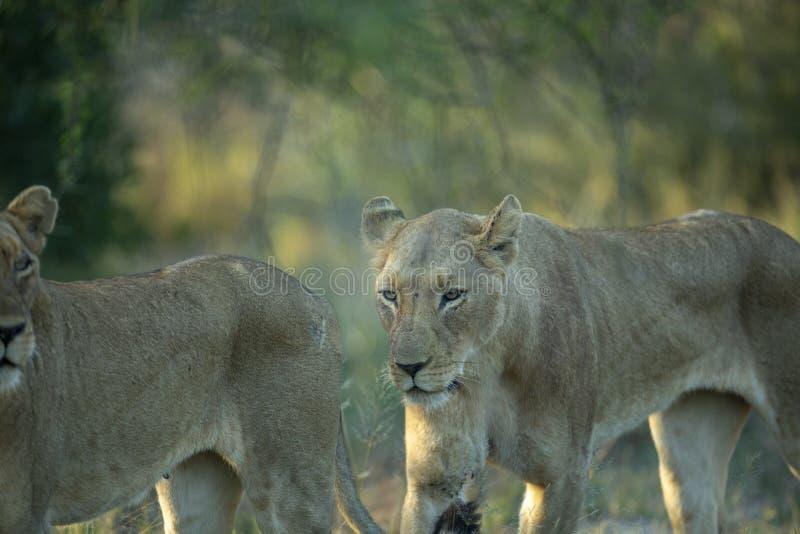 Cercare dei leoni fotografie stock libere da diritti