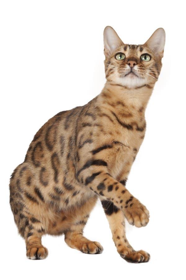 Cercare del gatto del Bengala fotografie stock libere da diritti