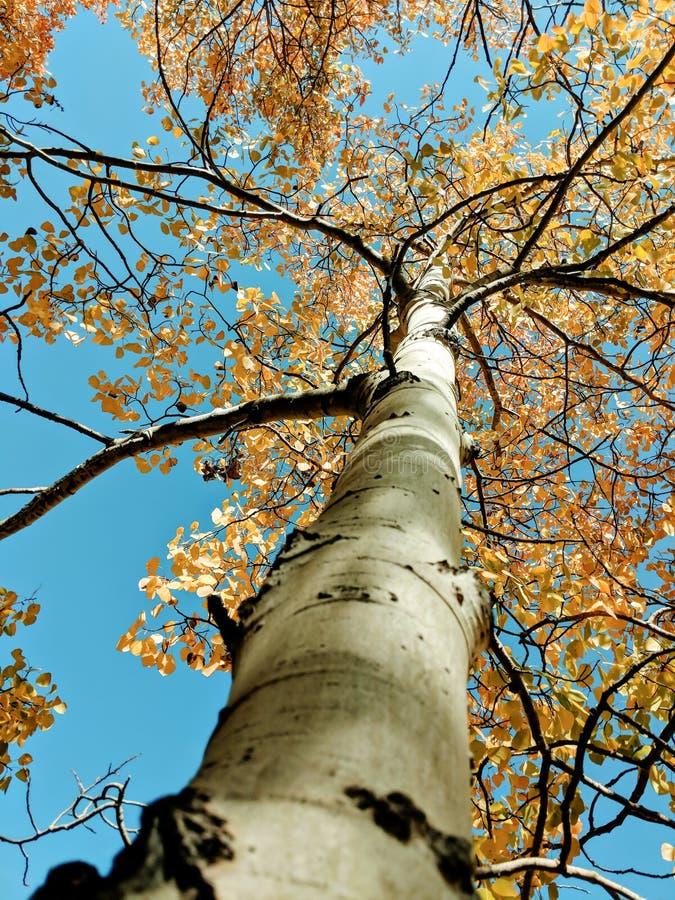 Cercare un albero variopinto di Aspen fotografia stock