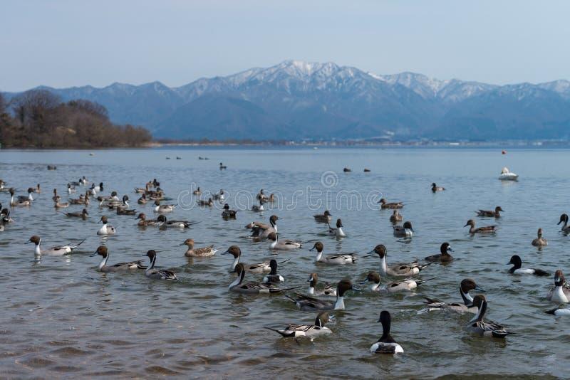 A cerceta ducks a natação na lagoa clara com fundo da cena da montanha da neve no lago Inawashiro, Fukushima, Japão fotos de stock royalty free