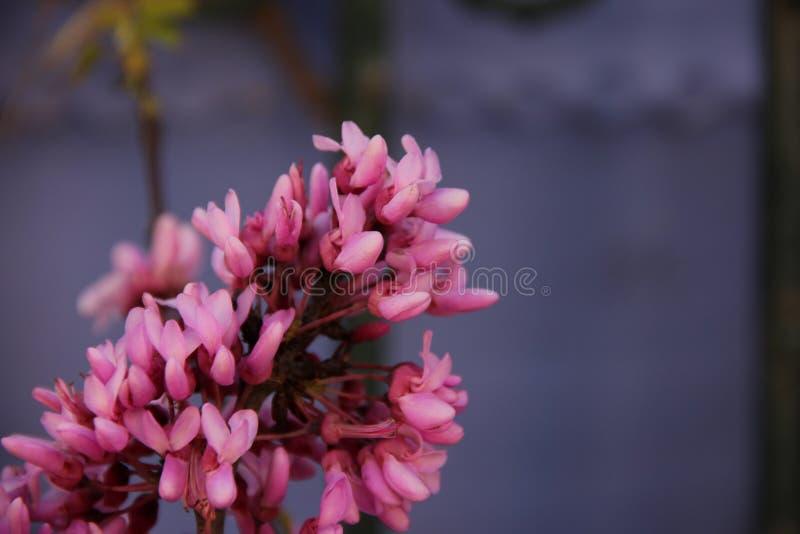 Cercis Canadensis foto de archivo libre de regalías