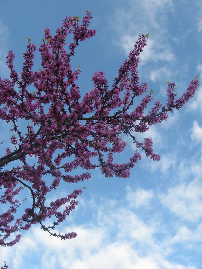 Cercis Siliquastrum, Judas Tree, Pink and Purple Flower Blossom in Spring on Blue Cloudy Spring Weather. Cercis Siliquastrum, Judas Tree, Pink and Purple Flower stock photography
