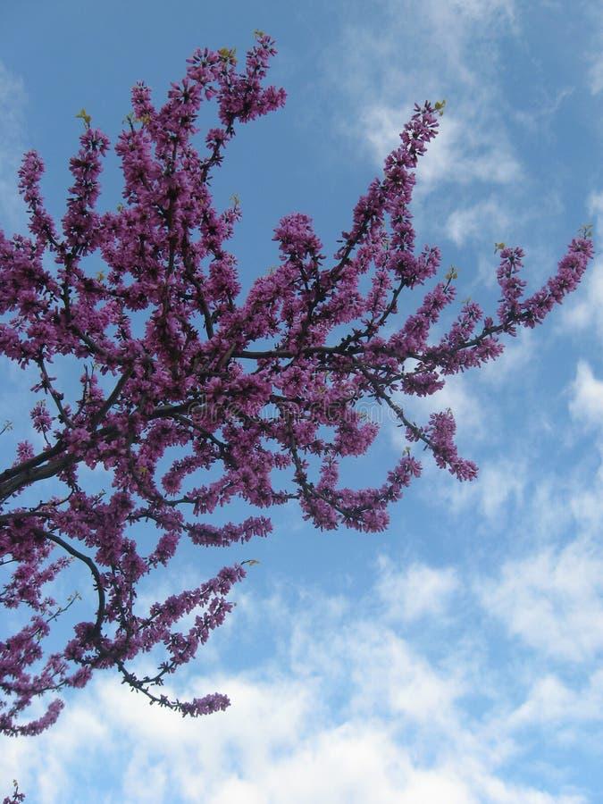 Cercis Siliquastrum, Judas Tree, rosa y flor púrpura de la flor en primavera en el tiempo nublado azul de la primavera fotografía de archivo