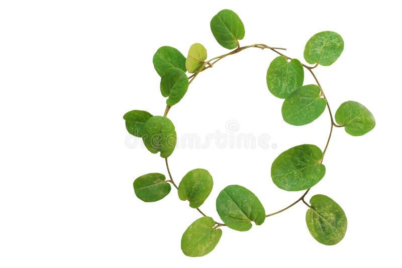 Cercle de petite usine de plante grimpante (plante cultivée de couverture, nummu d'Evolvulus photos stock