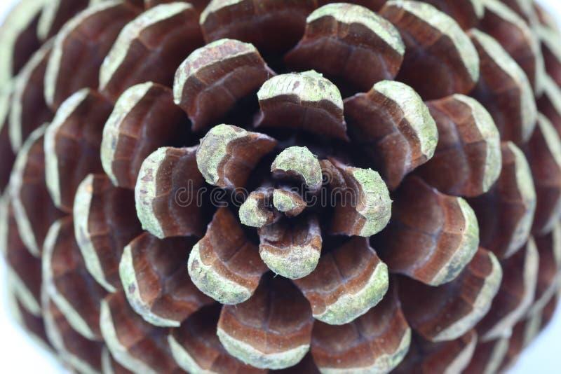 Cercles d'un cône de pin photo libre de droits